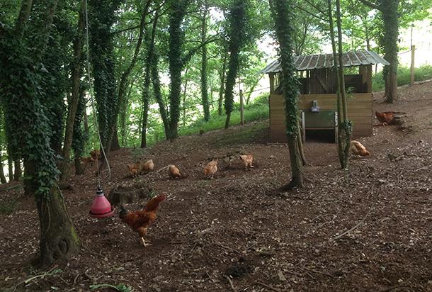 Finca arbolada dedicada a la cría del gallo de la cooperativa Vicogal, en Merza.