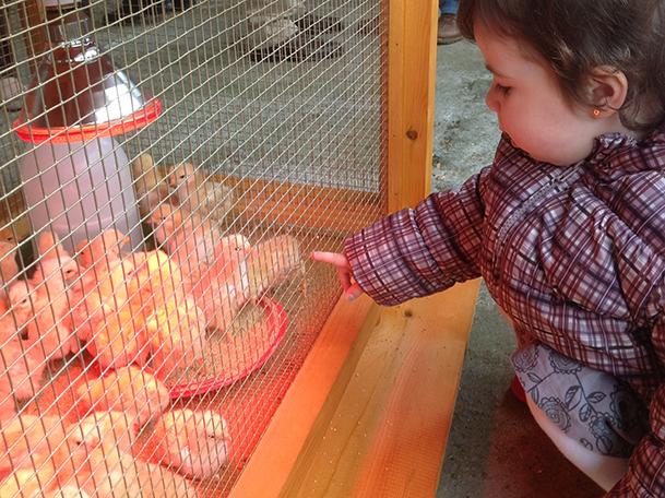 Una niña observa una jaula de pollitos de 4 días en la exposición de la Festa do Galo de Curral.