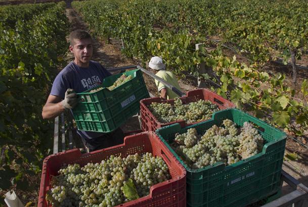 Peones cargando el tractor para el traslado de la uva a la bodega.