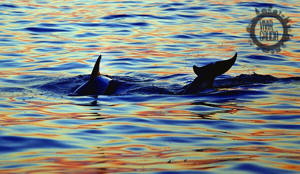 Delfines en aguas del Parque Nacional de las Islas Atlánticas de Galicia.