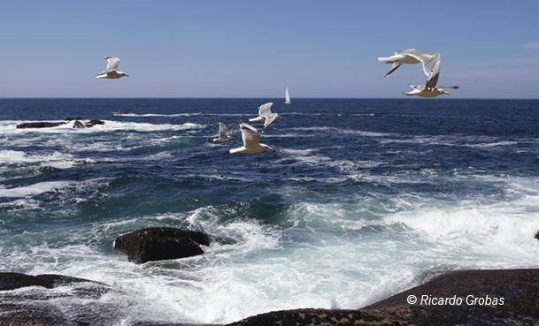 La gaviota patiamarilla, el ave marina más abundante en las islas Cíes.