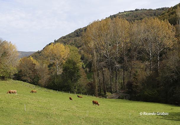 Vacas pastando en un prado de O Courel.