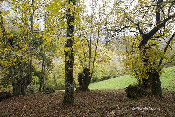 """Bosque de castañas, abundantes en O Courel, y conocidos como """"soutos""""."""